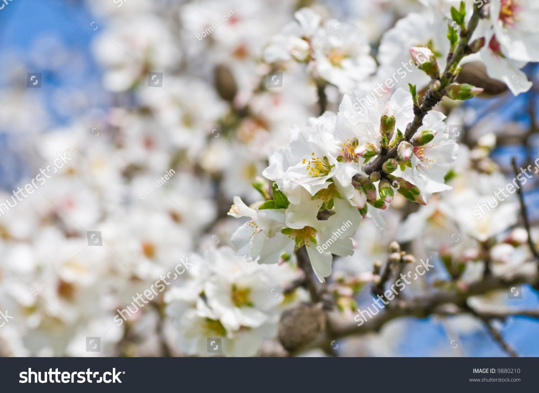 Flowering Almond Tree Midi File