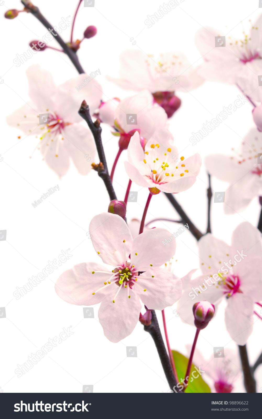 Pink cherry blossom sakura flowers isolated stock photo 98896622 pink cherry blossom sakura flowers isolated on white shallow dof dhlflorist Images