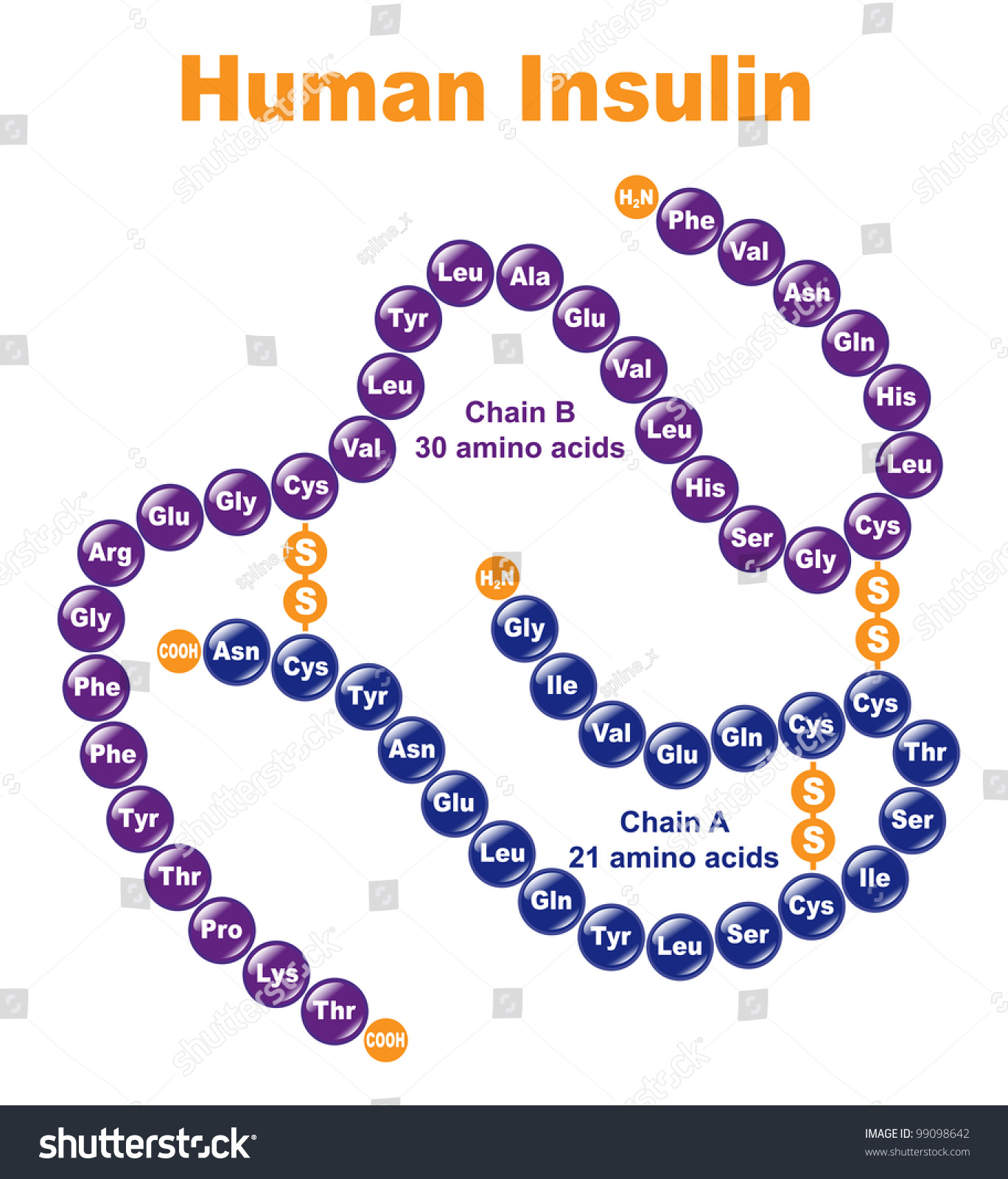 Human Insulin. Stylized Chemical Structure. Stock Vector Illustration ...