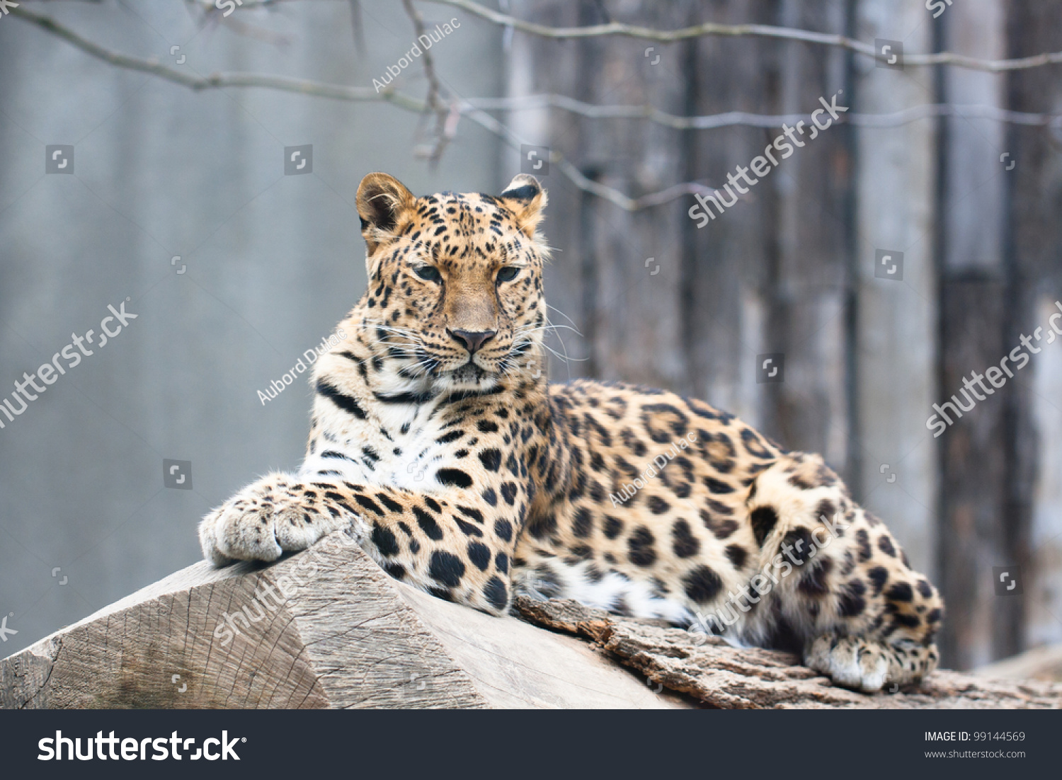 Simple essay leopard