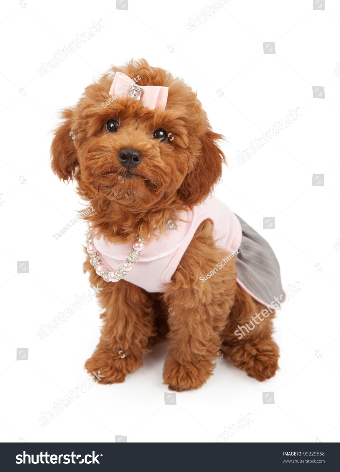 Cute Young Red Poodle Puppy Wearing Stock Photo 99229568 ...