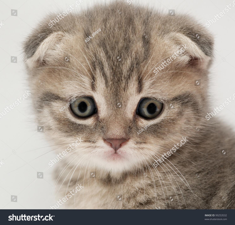 British Fold Kittens Stock Shutterstock
