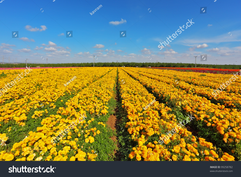 Fields yellow flowers ranunculus israeli spring stock photo image the fields with yellow flowers ranunculus israeli spring flowers are grown for export mightylinksfo