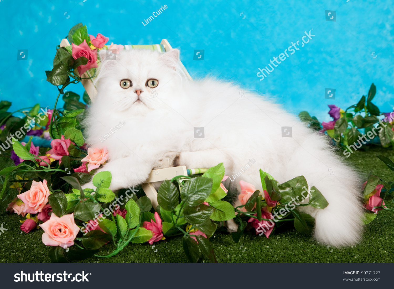 Silver Chinchilla Persian Cat Kitten Sitting Stock