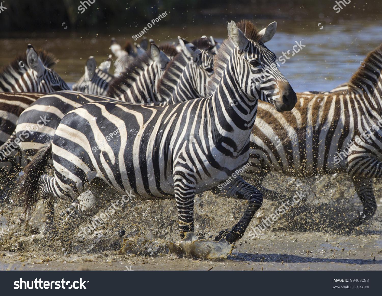Zebras Running Through Water Plains Zebra Running T...