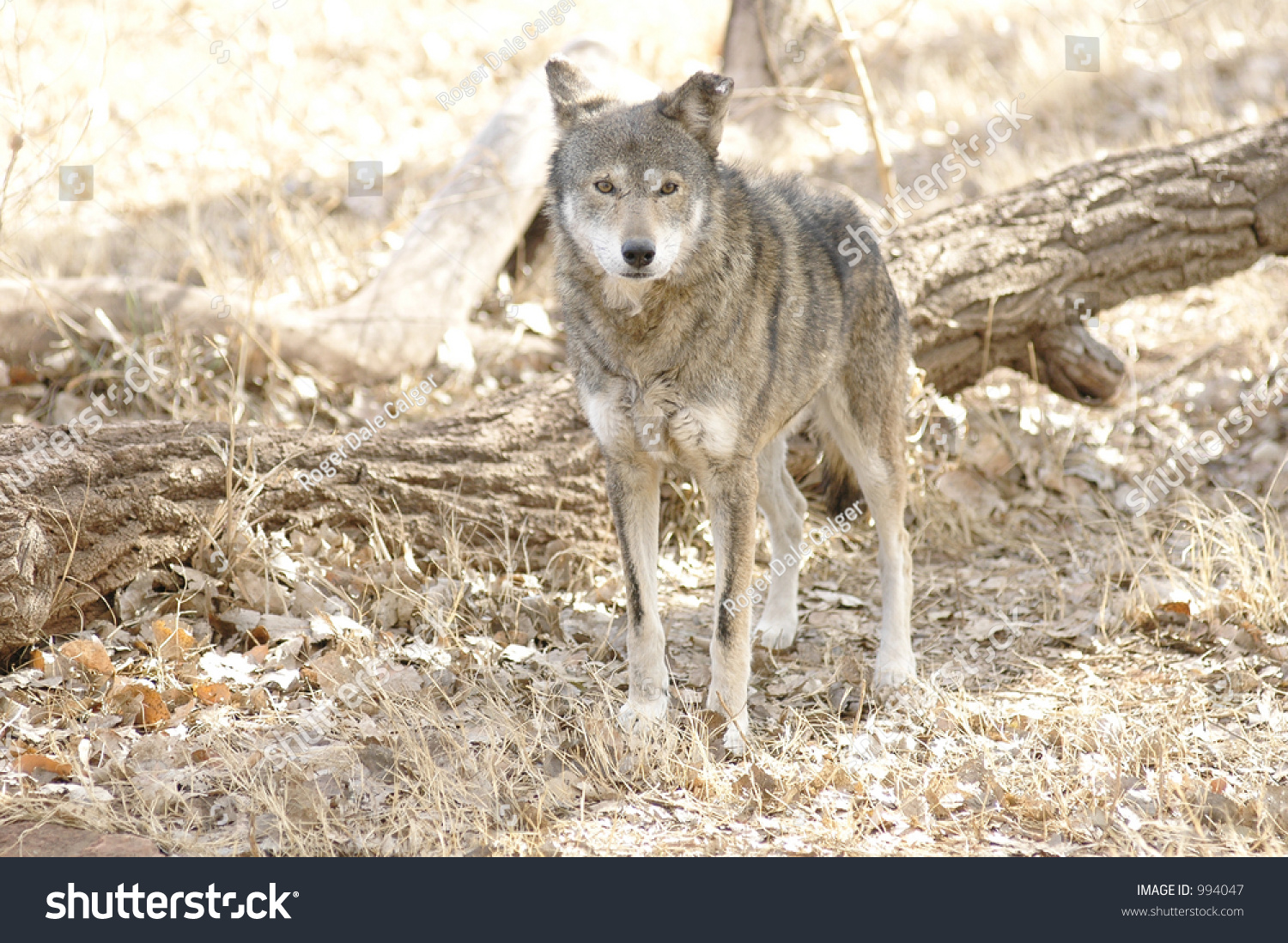 Red Wolf Habitat Stock Photo (Edit Now) 994047 - Shutterstock
