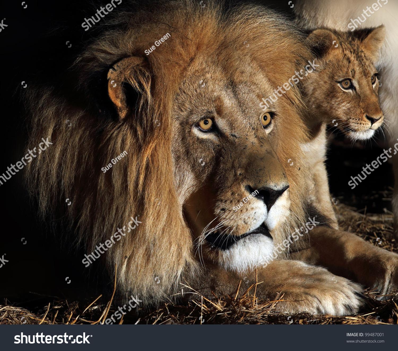 how to get a lion cub