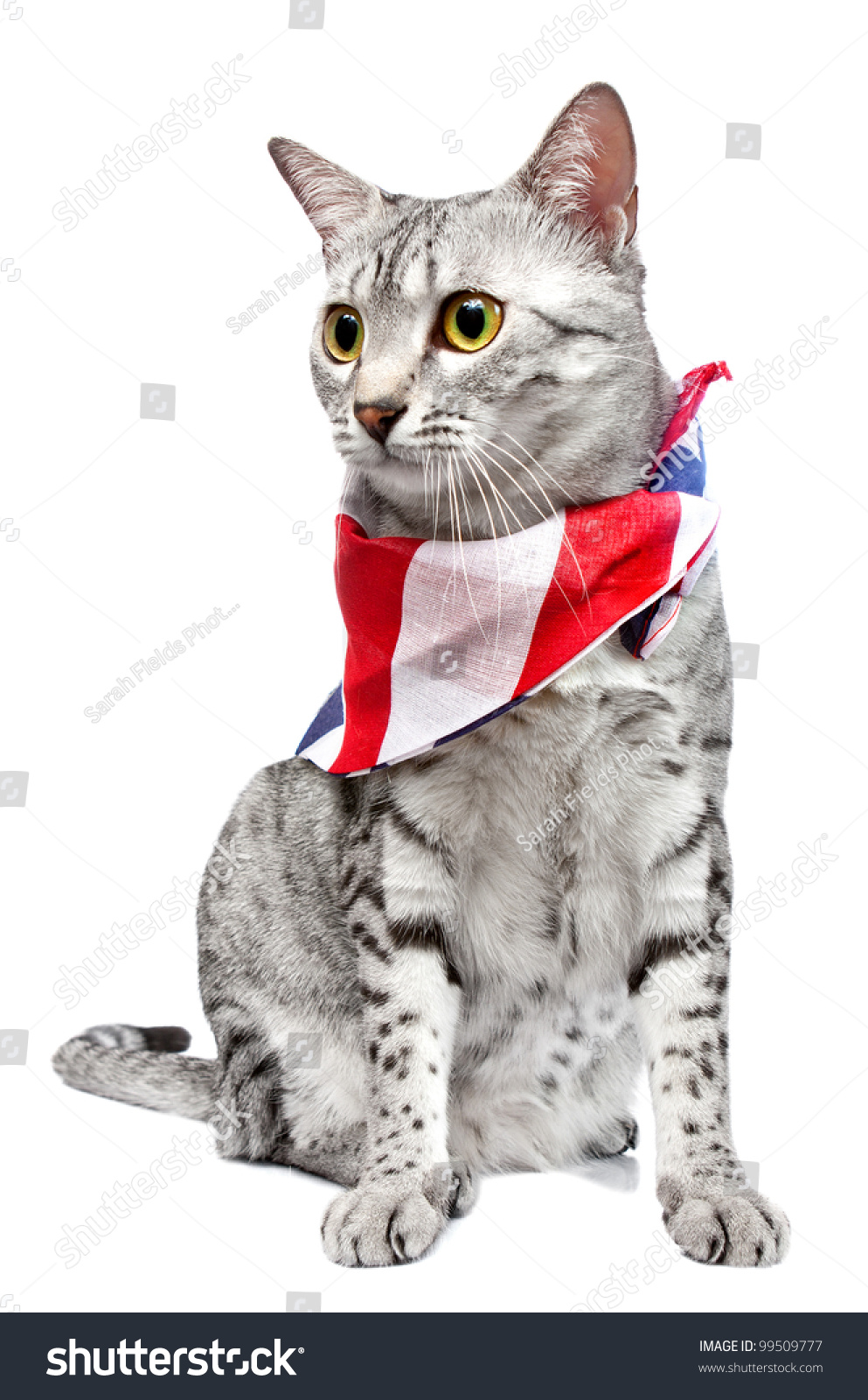 Cute Egyptian Mau Breed Cat Us Stock Photo 99509777 - Shutterstock