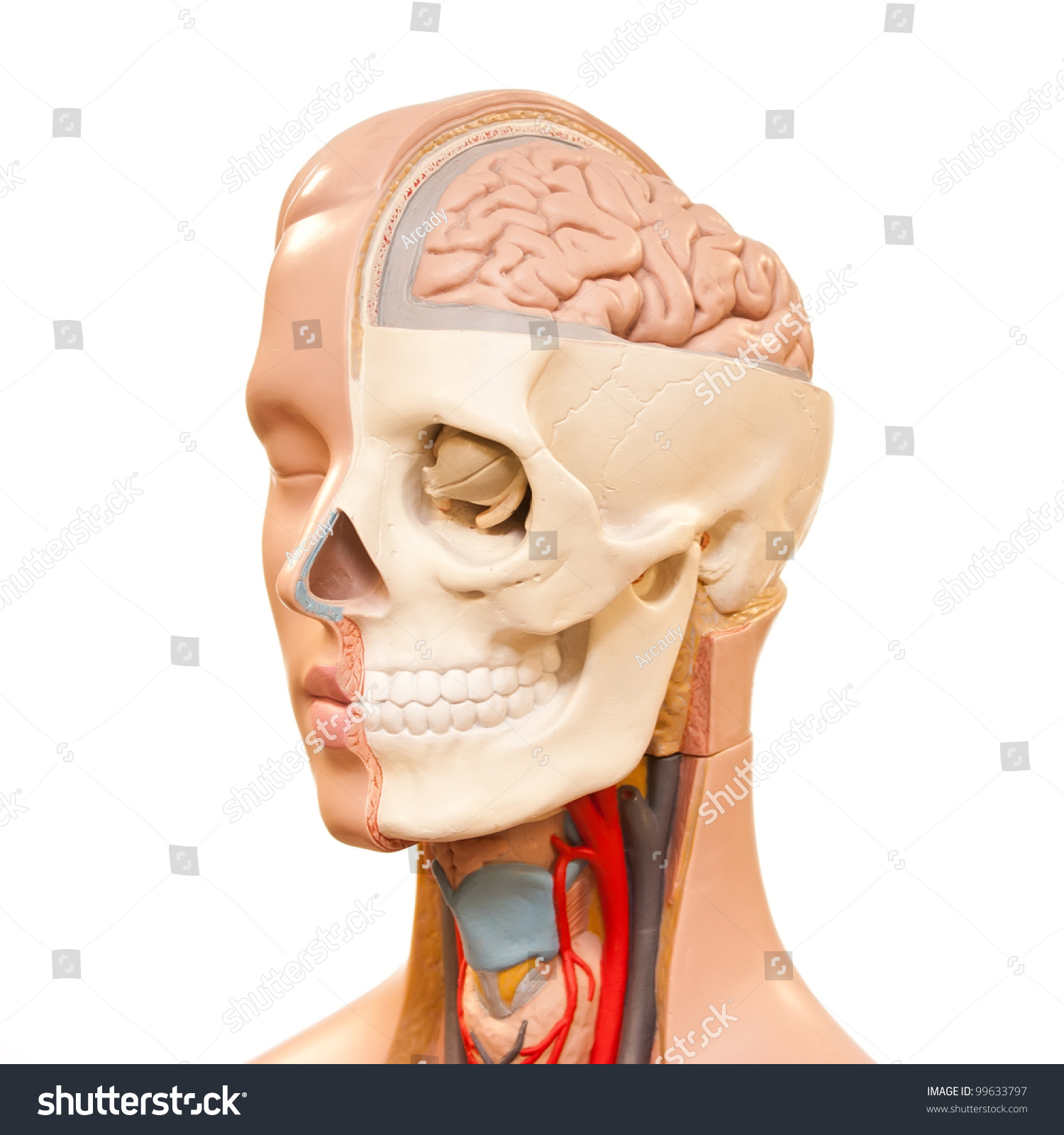 Human Head Anatomy Picture Stock Photo Edit Now 99633797
