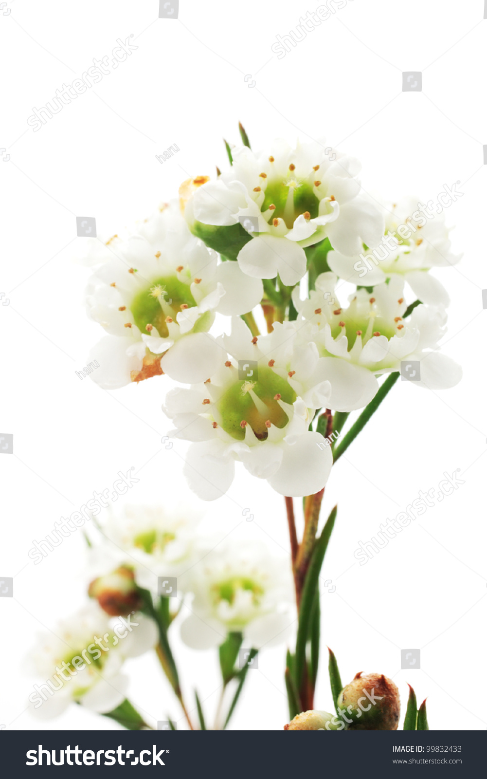 White Waxflower Stock Photo Edit Now 99832433 Shutterstock