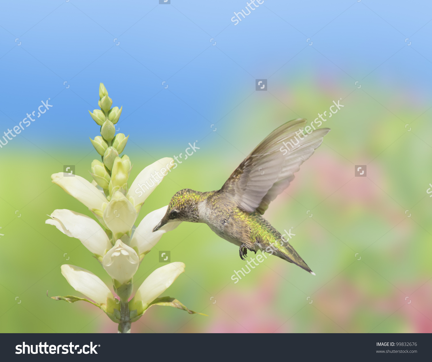 Hummingbird feeding on Turtlehead, latin name - Chelone glabra, white wildflower nectar. Latin name - Archilochus colubris.