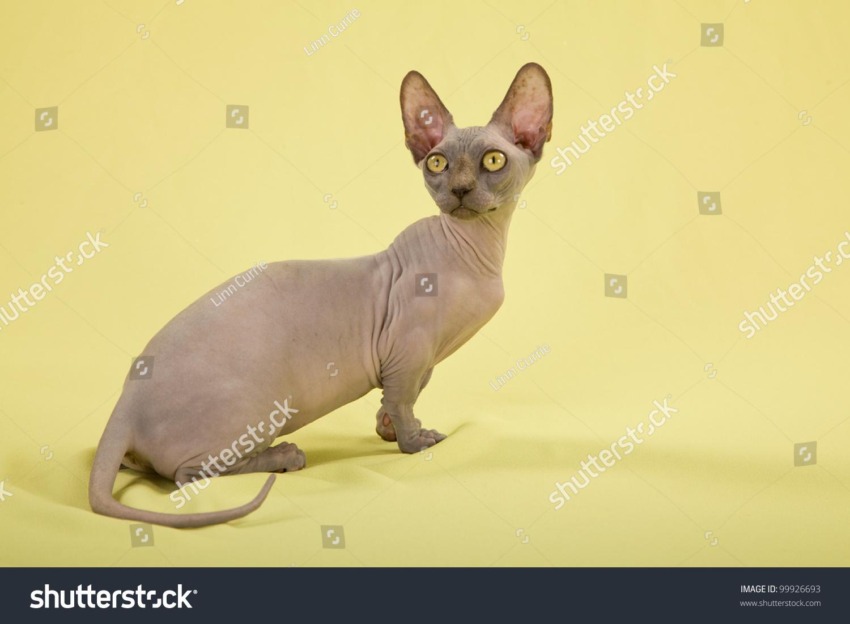 Hairless Short Leg Bambino Kitten On Stock Photo Edit Now 99926693