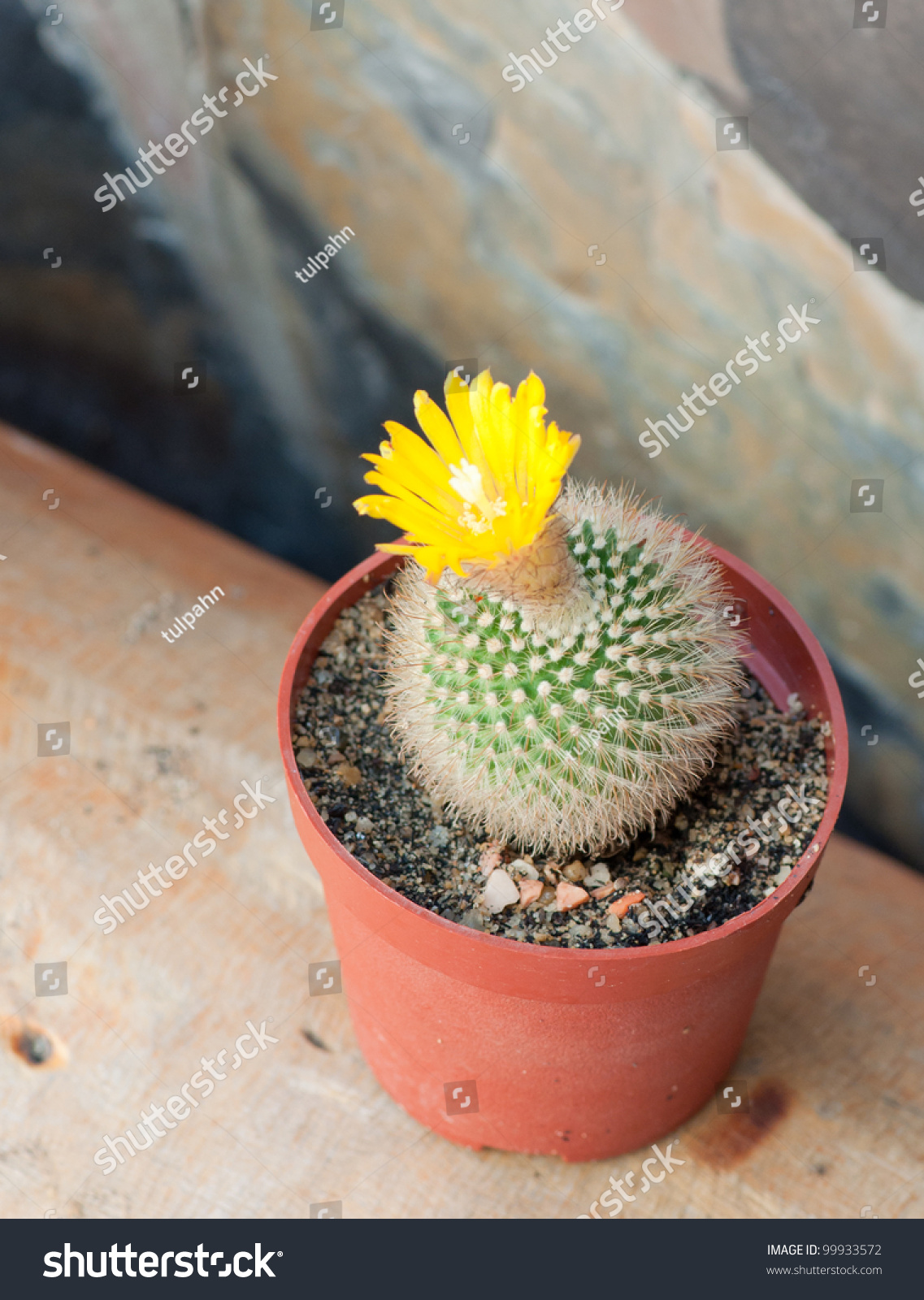 Cactus Yellow Flower Mini Size Stock Photo Edit Now 99933572